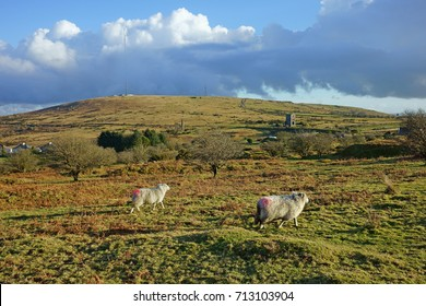 Sheep running and looking towards Caradon Hill with radio masks partially obscured by low cloud, a distant view of the Wheal Jenkins engine house and the village of Minions, Bodmin Moor, Cornwall, UK