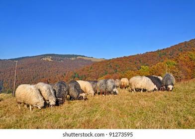 Sheep in a rural landscape.