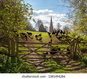 Sheep at Saintbury Church, Cotswolds, Gloucestershire, England