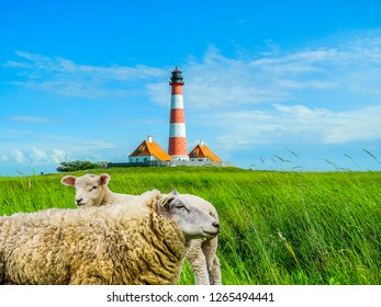Sheep in the salt marshes of the North Sea