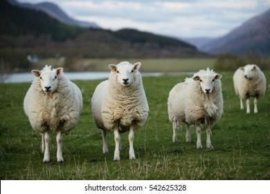Sheep in Scotland (3)