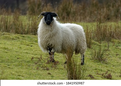 Sheep. Scottish Blackface ewe on pool pasture.