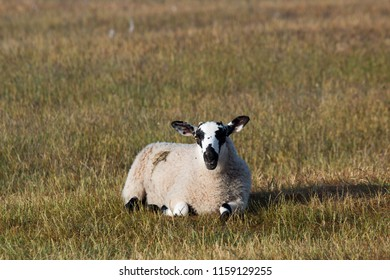sheep in the Scottish countryside scotland united kingdom europe