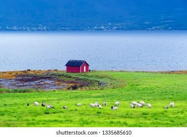 Sheep and sea in Senja Island, Norway.