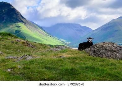 Sheep Shaun in Lake Distric National Park, England.