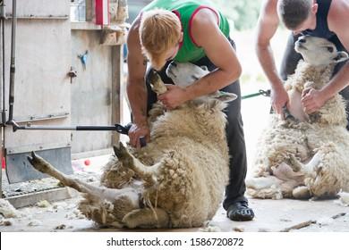 Sheep shearers shearing sheep wool with electric clippers