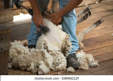 Sheep shearing at farm, Melbourne, Australia