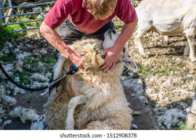 Sheep shearing is the process by which the woollen fleece of a sheep is cut off. The person who removes the sheep's wool is called a shearer.