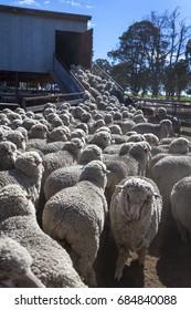 Sheep at shearing shed