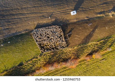 Sheep in sheepfold above in early morning lights. Aerial drone shot