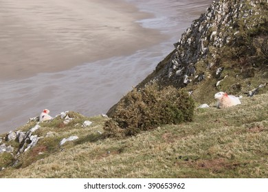 sheep sitting on cliff above beach