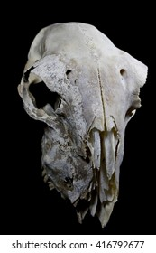 Sheep Skull on Black Background