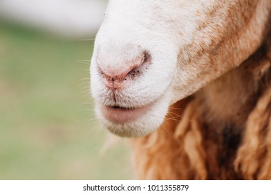 Sheep is smiling , sheep