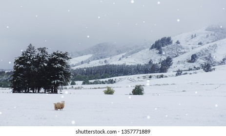 Sheep in snow covered fields at foot of Blue Mountains, West Otago, New Zealand.