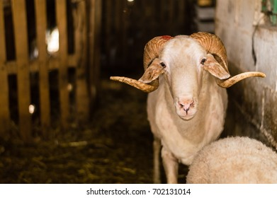 Sheep sold in the animal market for the sacrifice feast in Turkey. Bighorn ram in the barn.