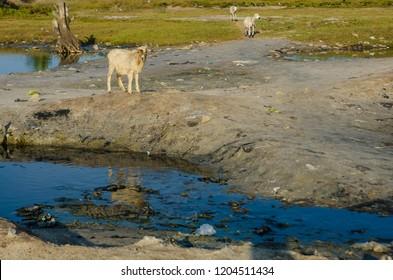 A sheep at Songor Lagoon, Volta Region, Ghana.