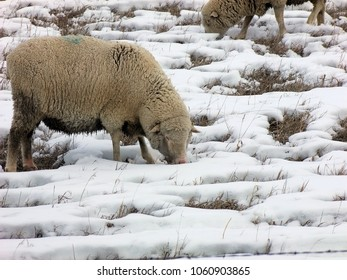 Sheep in spring snow