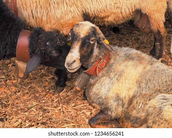 Sheep in a stable in Tenerife, a sheep black, bends down to the beige sheep and smells at the head. Both have big bell collars around