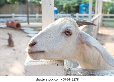Sheep in stall