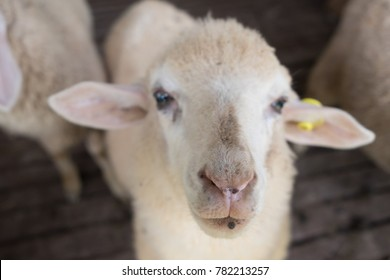 Sheep in the stall, Doi Inthanon National park, Chiangmai, Thailand.