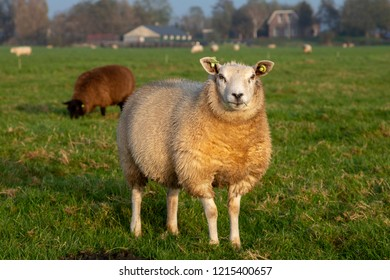 Sheep standing firm in a meadow looking curious and inquisitive, blades of grass in her mouth, with a brown sheep and houses at the background.