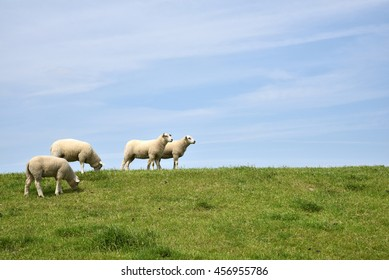 Sheep standing and grazing