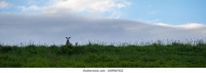 A sheep standing on the brow of a grassy hill looking down silhouetted against the sky