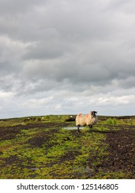 Sheep standing on peat turf, looking at the camera.