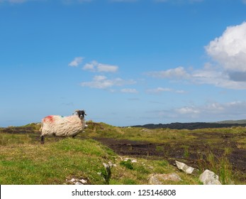 Sheep standing on peat turf in the sun, looking at the camera.