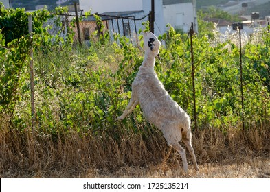A sheep standing on it's rear feet is trying to reach some fresh leaves over an iron fence to eat. Picturesque scene on a sunny summer day in Archanes town, Heraklion prefecture, Crete island - Greece