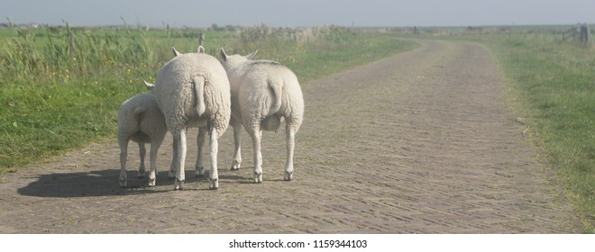 Sheep stands with her back.Funny sheeps. Texel, Holand