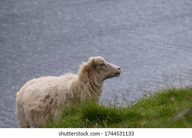 A sheep stands on a cliff and wants to graze. In the background you can see the water surface. Discovered on the Faroe Islands discovered.