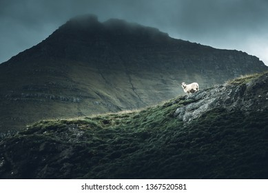 A sheep stands on a precipice in the Faroe Islands of Denmark