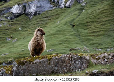 A sheep stands on a rock in the Faroe Islands, Denmark