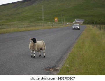 A sheep stands in road oblivious to the danger as a car approaches