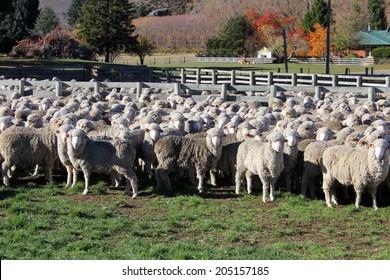 Sheep in Stock Yard