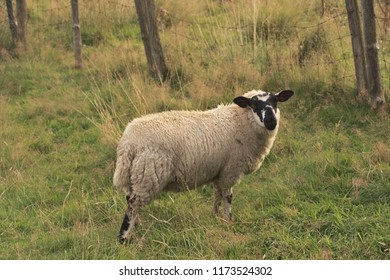 Sheep stood in a field.