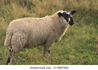 A sheep stood in a grassy field.