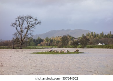Sheep stranded on an island surrounded by flooded fields - Drymen, Scotland