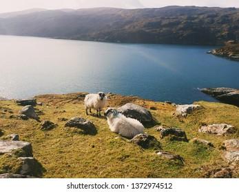 Sheep in the stunning Isle of Harris