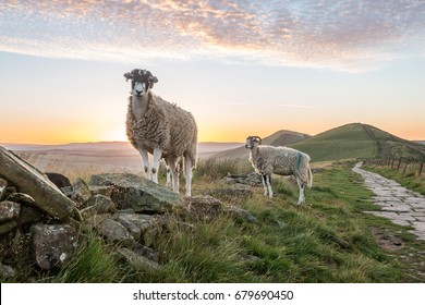 Sheep at sunrise at Mam Tor, Castleton, Peak District National Park, UK