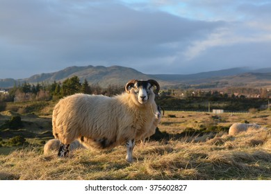 Sheep at sunset in Loch Lomond and The Trossachs National Park, Scotland, UK