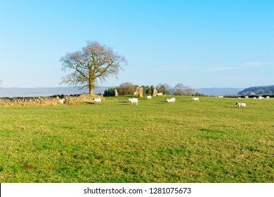 Sheep surround the remains of the ancient Nine Stone Circle in Derbyshire