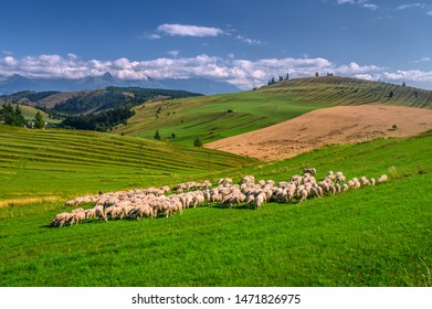 Sheep and their young lambs in a green field on a Slovak meadow under High Tatras