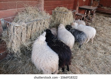 Sheep with thick fur eating straw in the stable