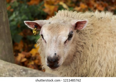 Sheep with thick winter coats in a field.bah bah