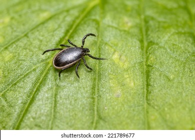 The Sheep Tick, Ixodes persulcatus