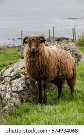 Sheep, Torshavn, Faroe Islands
