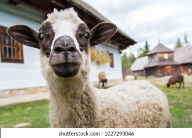 Sheep in a traditional Slovakian village