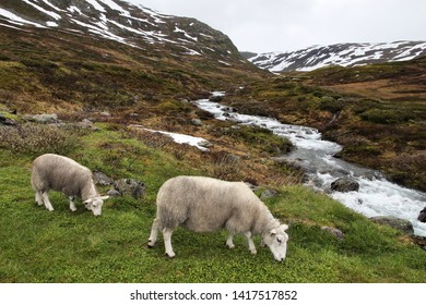 Sheep in tundra biome landscape in Norway. Mountain stream in Aurlandsfjellet.